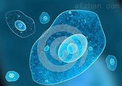 草地夜蛾卵巢细胞;Sf9图片